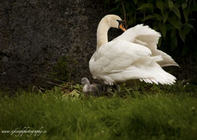Protective mother swan
