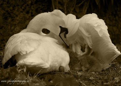 Swan sheltering young