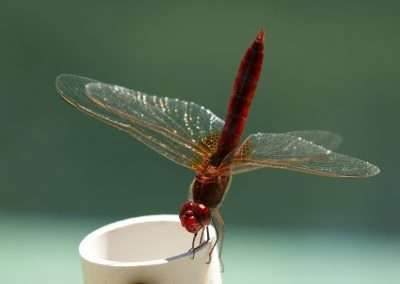 Red Dragonfly perched
