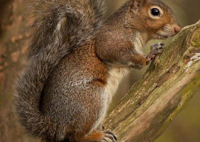 Hint of Red Squirrel
