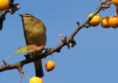 Bird with Crab Apples