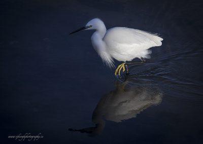 Egret Paddling