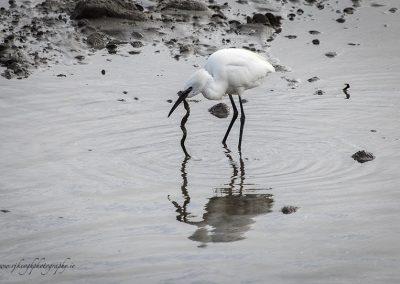 Egret with Eel 3