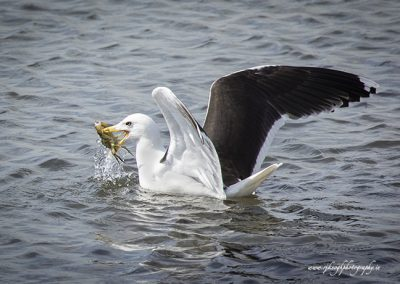 Gull with Crab 2
