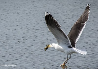Gull with Crab 3