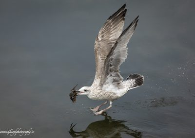 Gull with Crab 4