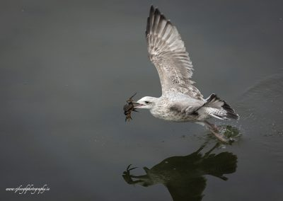 Gull with Crab 5