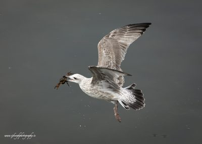 Gull with Crab 6