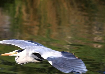Heron in Flight Royal Canal