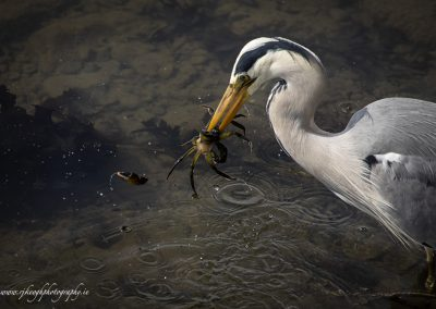 Heron with Crab 2
