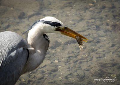 Heron with Dublin Bay Prawn