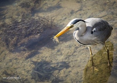 Heron with Prawn