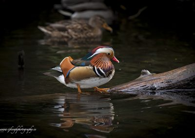 Mandarin Duck on Log