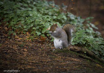 Squirrel nibbling