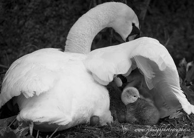 Swan and Cygnets 4