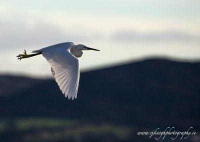 White Egret in flight 2