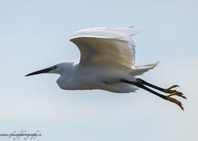 White Egret in flight 2a