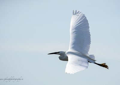 White Egret in flight 3