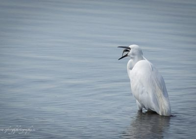White Egret with Catch