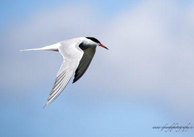 Tern in Flight 2