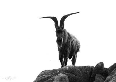 Wild Goat on Dalkey Island