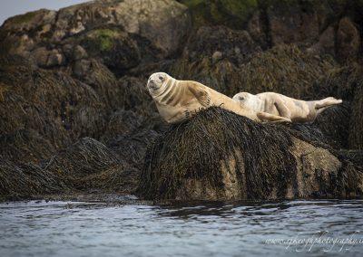 Seals off Dalkey Island