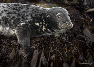 Seal – Dalkey Island
